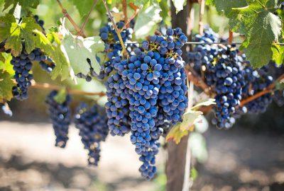 druiven wijn